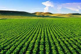 Novos cultivos usam 25% menos água e resistem à seca
